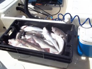 The boxes filled up quick with legal limits of haddock for the guys fishing aboard RELENTLESS out of Green Harbor today.